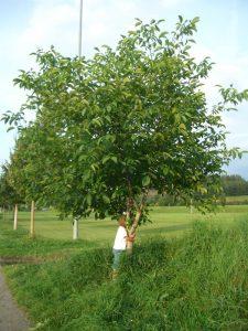 Walnussbaum bei Weiheim