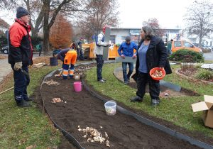 AK Natur, Verschönerungsverein und Stadtwerke pflanzen Blumenzwiebeln am B2 Brunnen