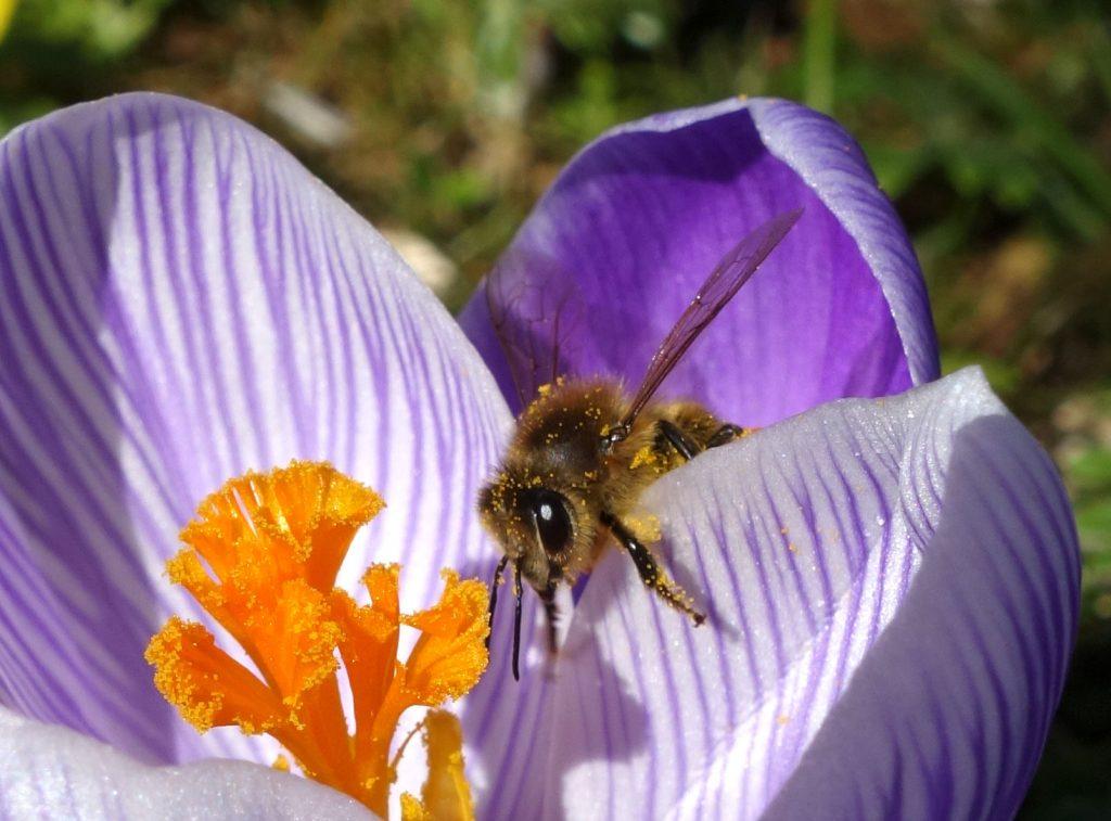 Honigbiene in Krokusblüte. © M.Wessel