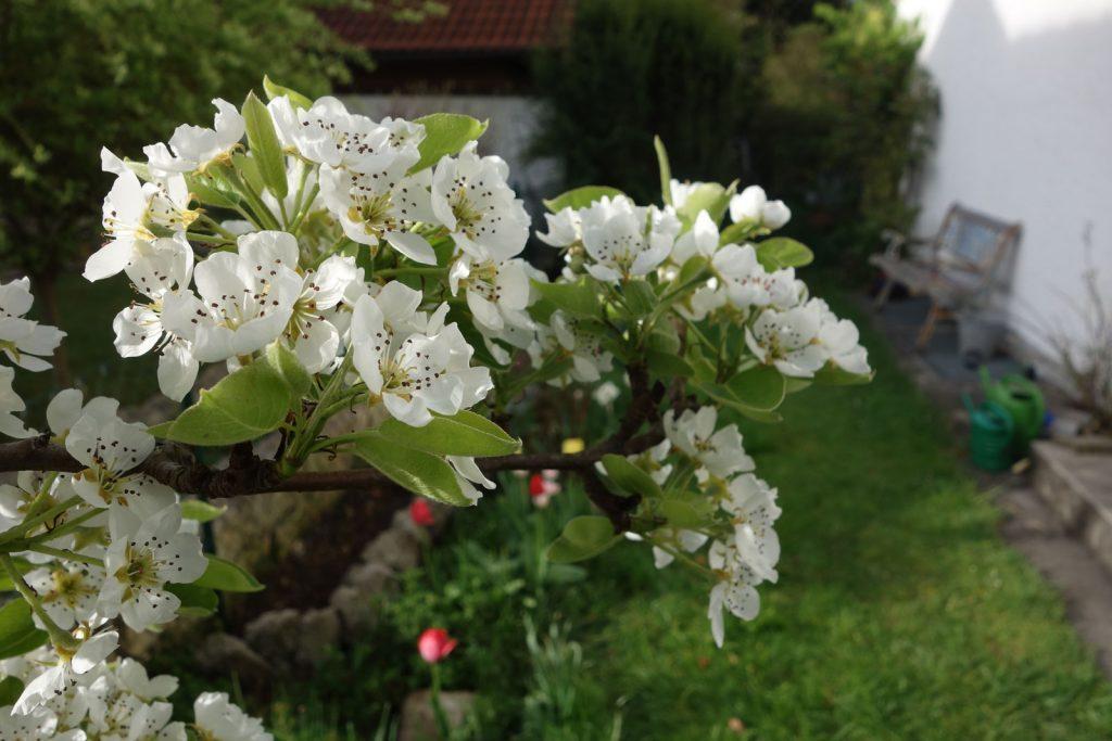 Birnbaumblueten im Garten © Maike Wessel