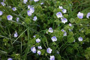 Blühwiese (Ehrenpreis) im Garten © Maike Wessel