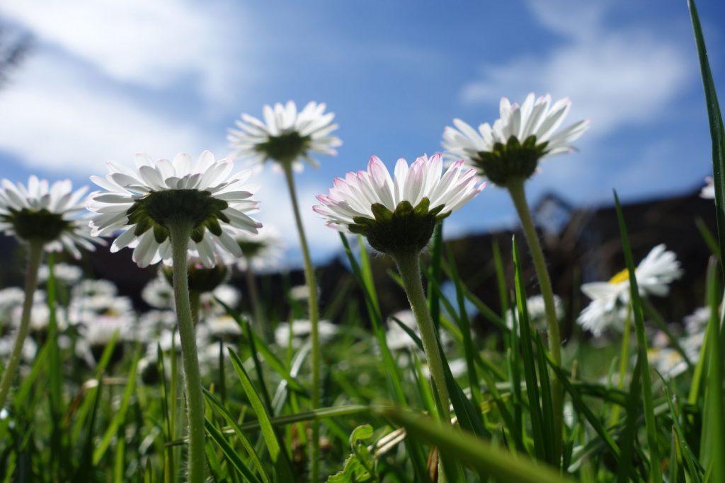 Blühender Rasen (Gänseblümchen) im Garten © Maike Wessel