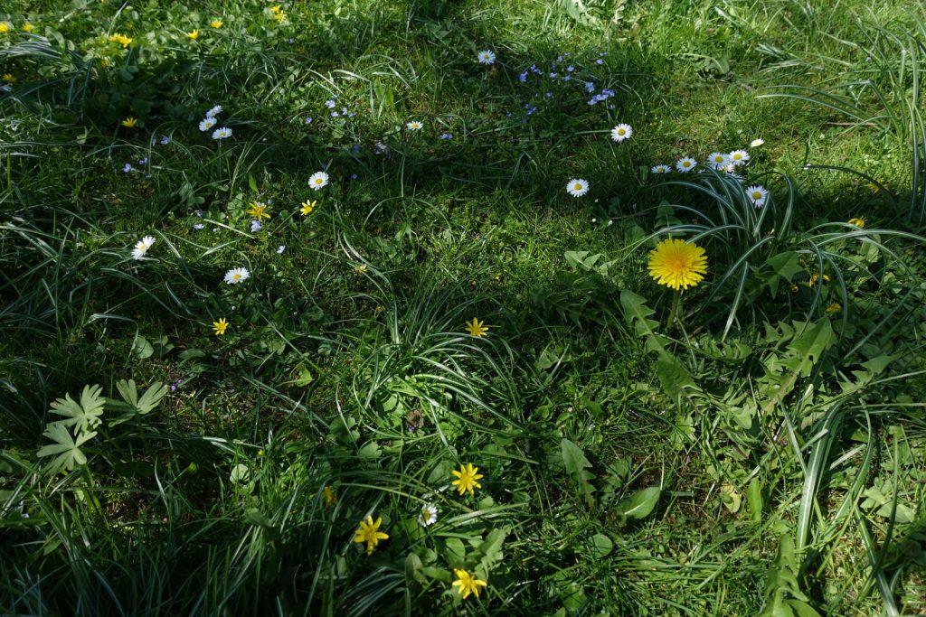 Blühende Gartenwiese im April (Löwenzahn, Gänseblümchen, Ehrenpreis, Scharbockskraut) © Maike Wessel